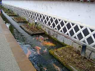 殿町の水路を泳ぐ鯉