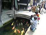 殿町を泳ぐ鯉