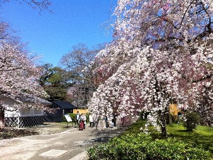 3週間前の桜