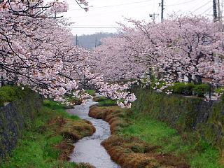 一の坂川に咲く桜