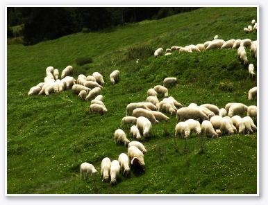 一心不乱に草をはむ羊